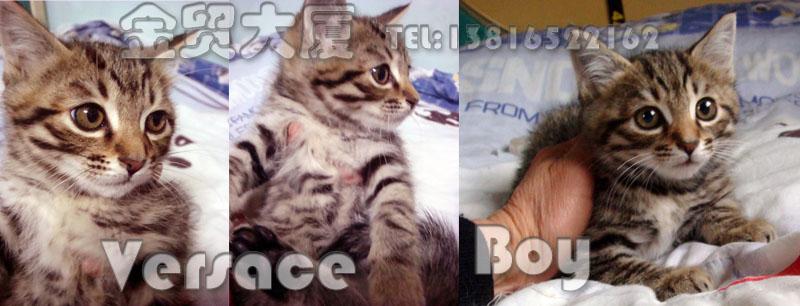 Yuki 男生 5个半月 蓝眼睛白猫长毛 是朋友小年夜的时候捡到的,捡到它时就四个月的样子,带回家养育了一个月左右的时间,朋友家已经有两只猫了,实在养不了第三只,才让金贸帮忙找领养的。 Yuki性格超温柔,从叫声绝对想象不出它是男生,很喜欢人抱的,绝对的宠物猫。不过见到同类时,胆子有点小,希望家里没有猫咪(或者猫咪在半岁以内)的家庭领养,软软的毛,摸了就不想停下来。  ---------------------------------------------------------------------